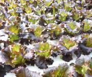 水耕栽培 野菜