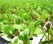 水耕栽培 小松菜
