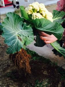 カリフラワー 収穫2