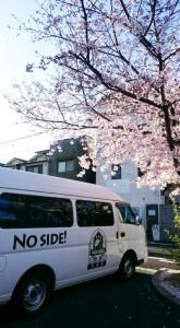 ノーサイドの桜満開