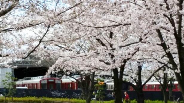 ♪お花見♪桜・さくら・サクラ満開♪