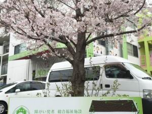 ノーサイドの桜