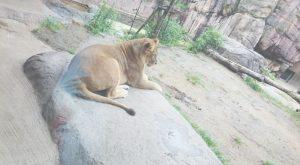 ライオン後ろ姿